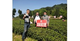 茶园增产提质,实现零投入增收-四川茶叶达州篇